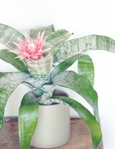 Aechmea Bromeliad