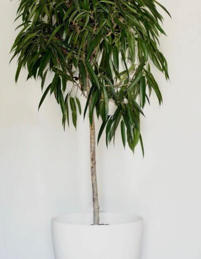 Ali Ficus