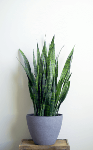 Sanserveria - snake plants