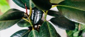 Modern Foliage magnolia plant