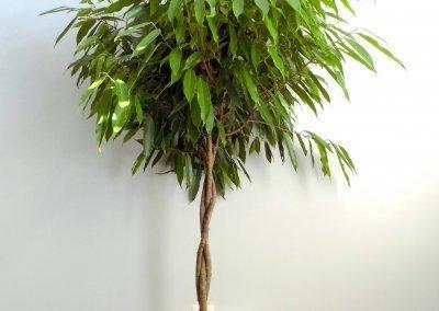 Amstel King Ficus