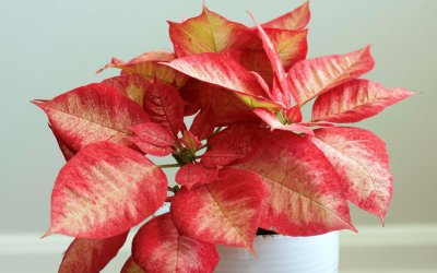 All about Poinsettias (Nikki's FAVORITE plant!)